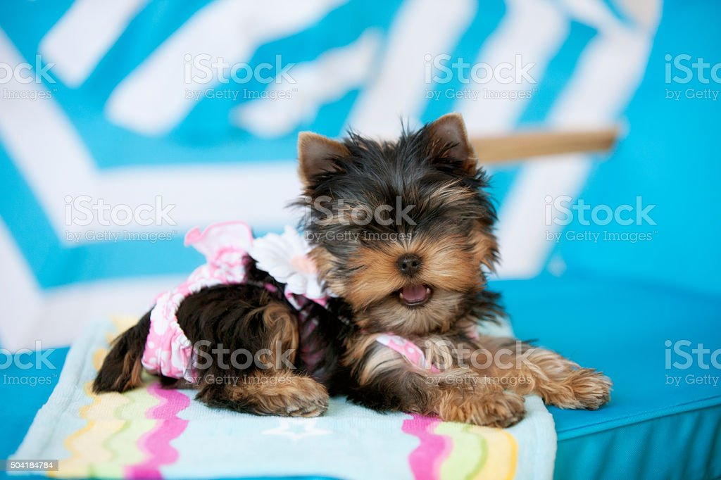 Yorkie wearing Swim Suit at Beach Lying on Lounge Chair stock photo