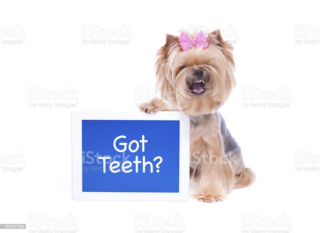 Yorkie with a digital tablet computer royalty-free stock photo