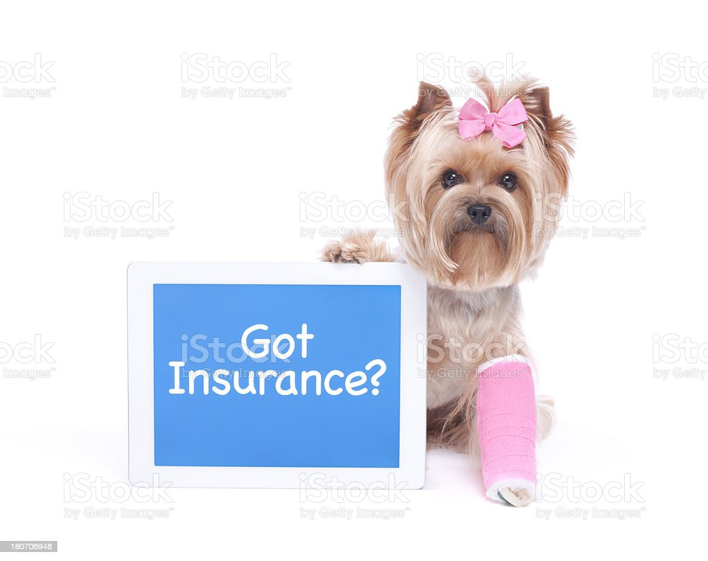 Yorkie with broken leg holding a digital table stock photo