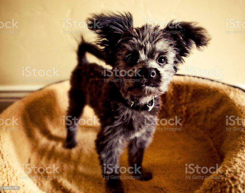 Yorkiepoo Puppy stock photo