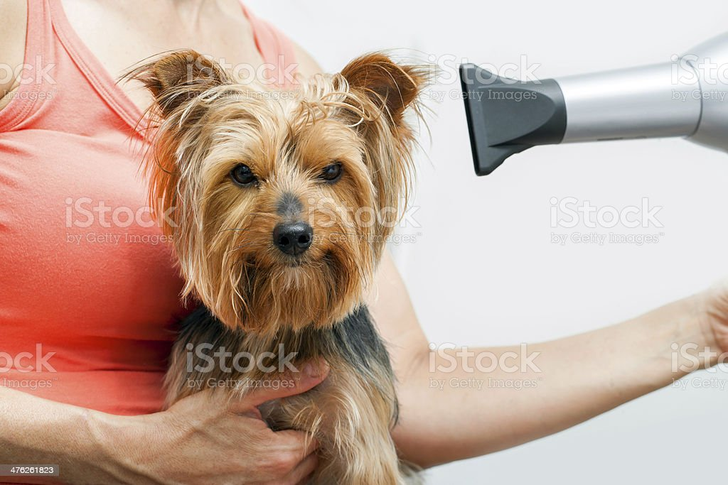 Yorkshire getting blow dried. royalty-free stock photo