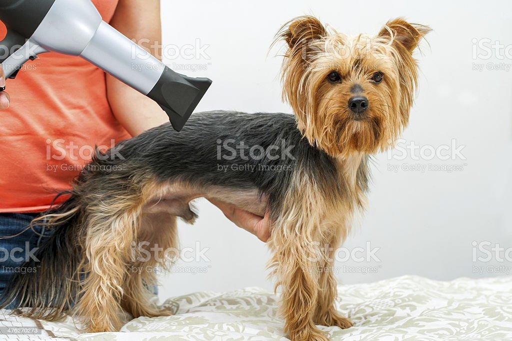 Yorkshire in dog salon. royalty-free stock photo