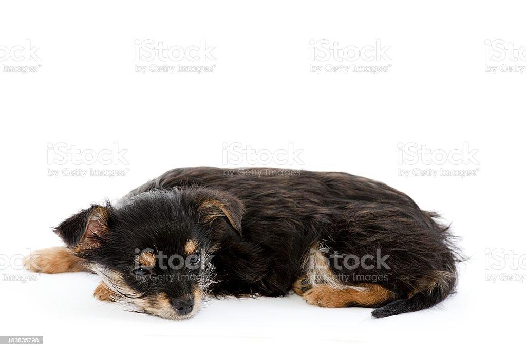 yorkshire mix puppi on white stock photo