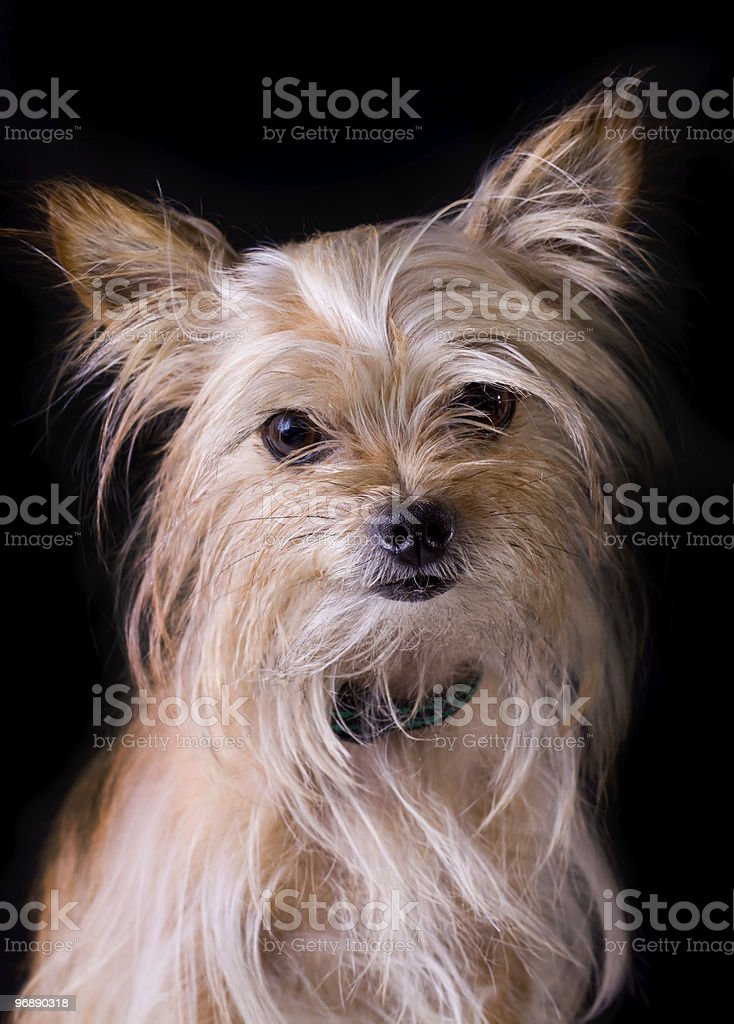 Yorkshire portrait royalty-free stock photo