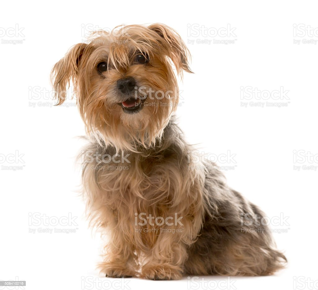 Yorkshire sitting in front of a white background stock photo