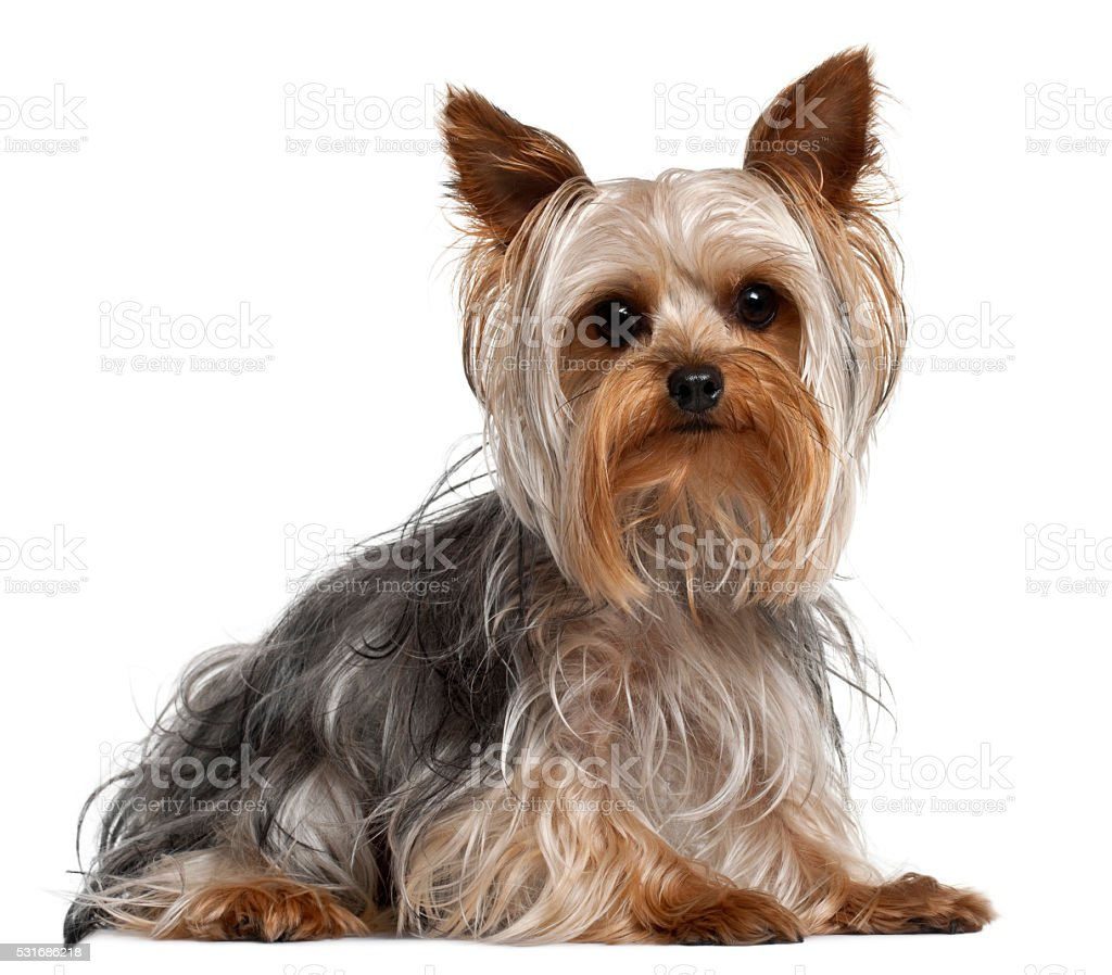 Yorkshire Terrier, 1 year old, lying stock photo