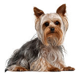 Yorkshire Terrier, 1 year old, lying