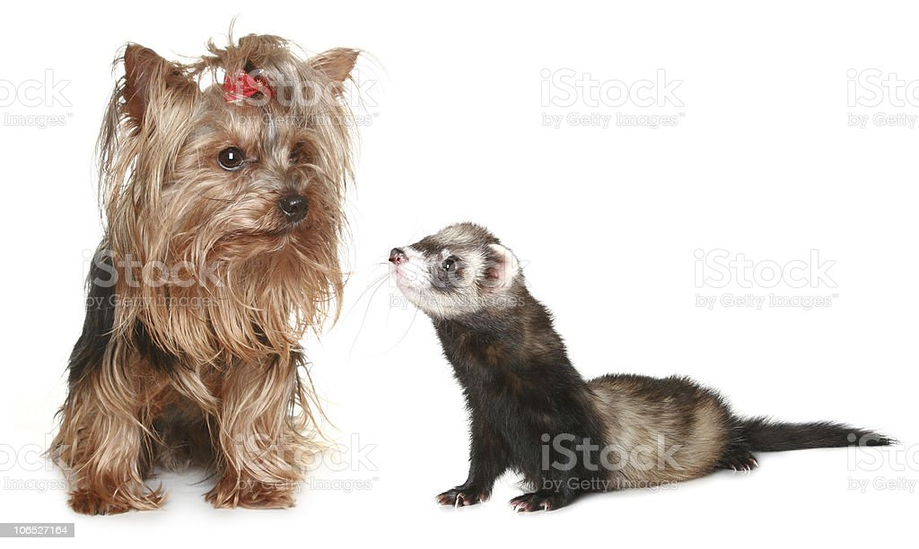 Yorkshire Terrier and freet stock photo