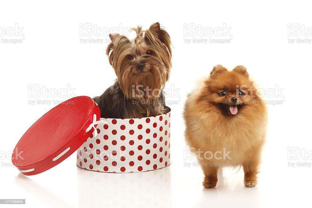 Yorkshire terrier and Pomeranian Spitz stock photo