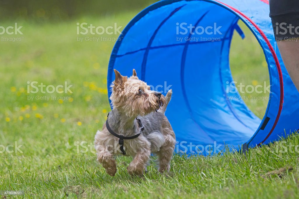 Yorkshire Terrier at the agility competition. royalty-free stock photo