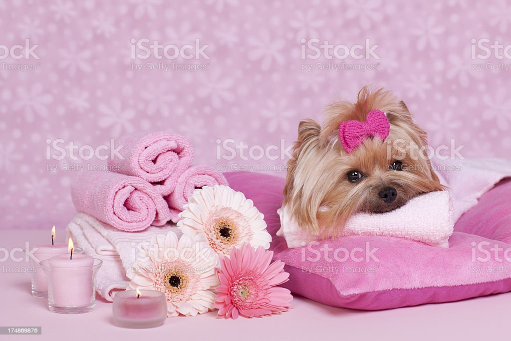 Yorkshire Terrier at the spa royalty-free stock photo