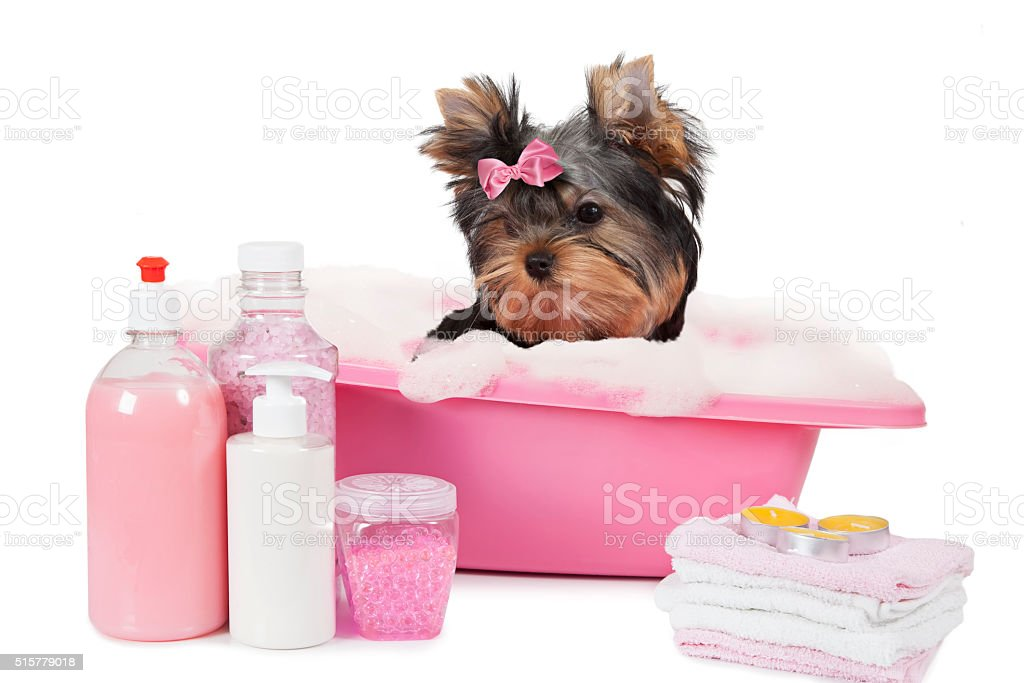 Yorkshire terrier bathing in a bubble bath stock photo