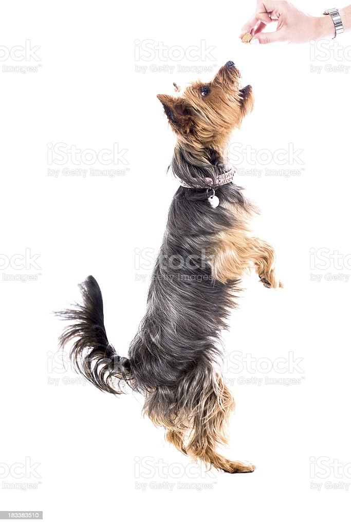 Yorkshire terrier begging royalty-free stock photo