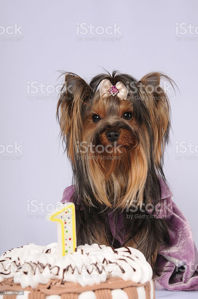 Yorkshire terrier celebrating first birthday royalty-free stock photo