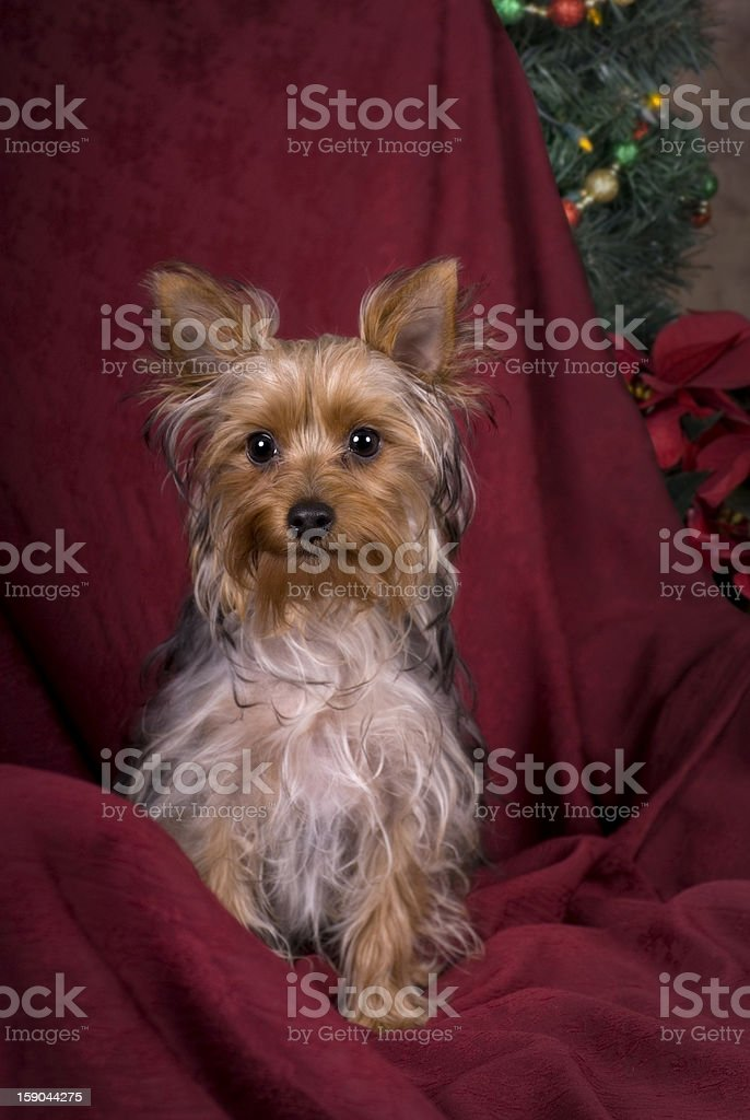 Yorkshire Terrier Christmas Portrait royalty-free stock photo