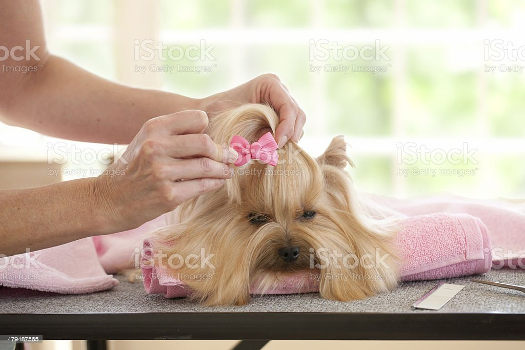 Yorkshire Terrier Day at the Groomer-Spa royalty-free stock photo