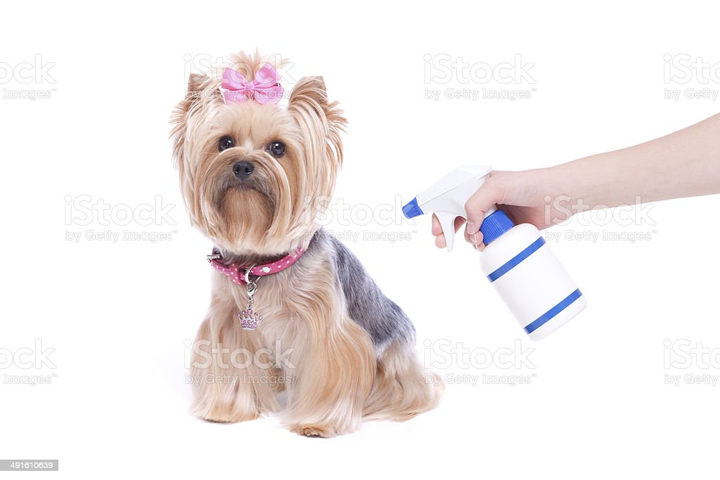Yorkshire Terrier Dog and Flea and Tick Preventative stock photo