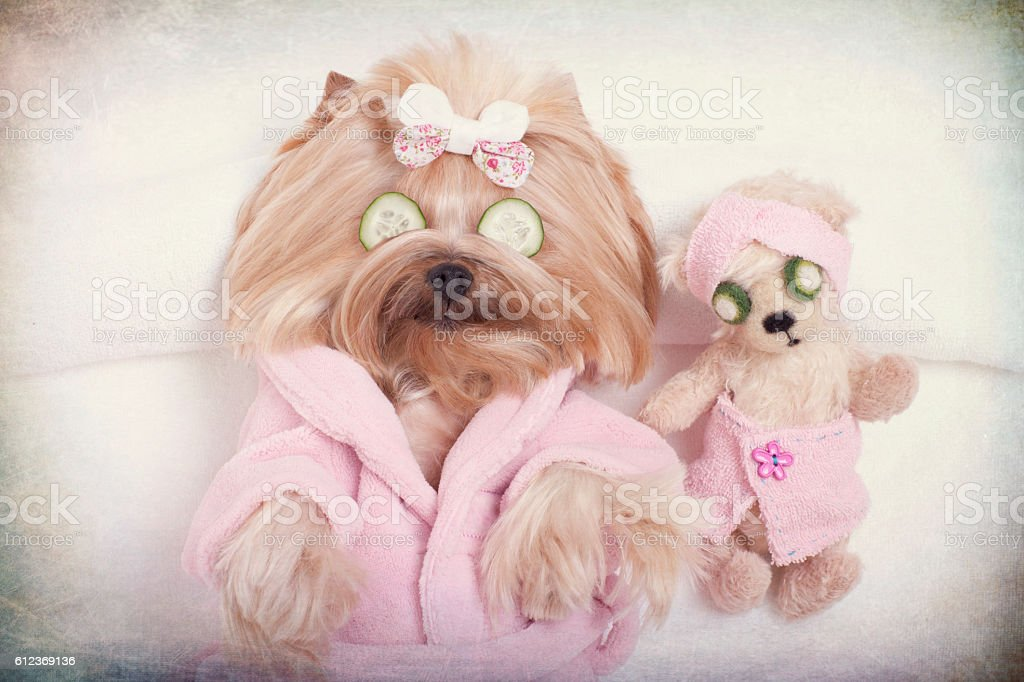 Yorkshire terrier dog and teddy bear friend getting messages at the...