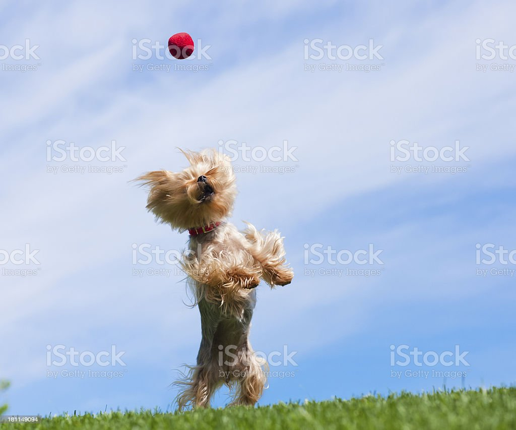 Yorkshire Terrier Dog Catching Ball in the Air royalty-free stock photo