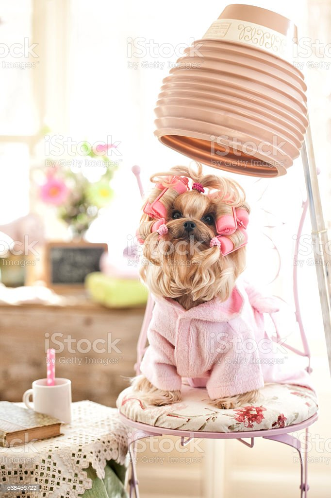 Yorkshire Terrier Dog Day at the Pet Grooming Salon stock photo