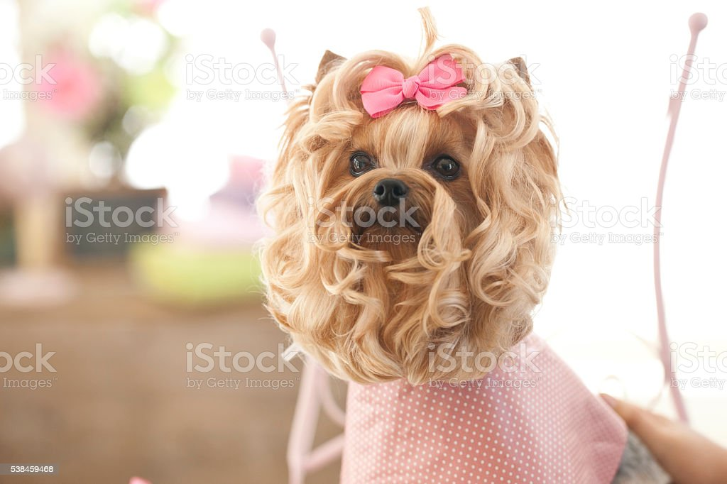 Yorkshire Terrier Dog Day at the Pet Grooming Salon
