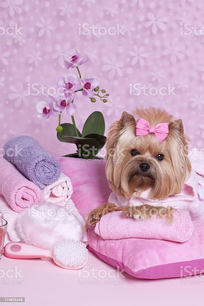 Yorkshire Terrier day at the spa.Some others you might also like: