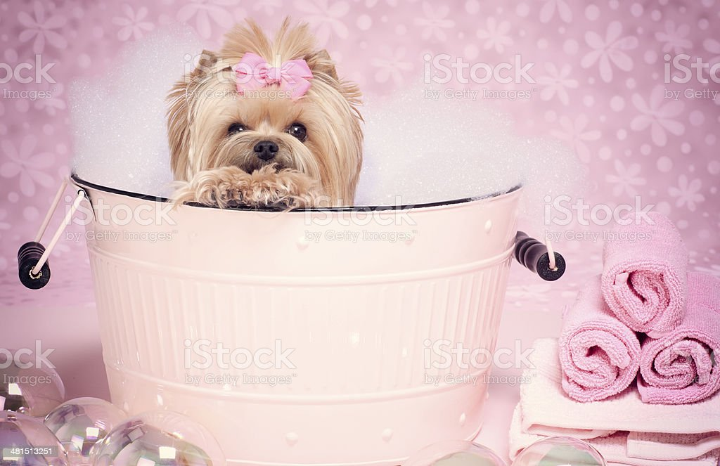 Yorkshire Terrier in a washtub with gogglesYorkshire Terrier Dog Day...