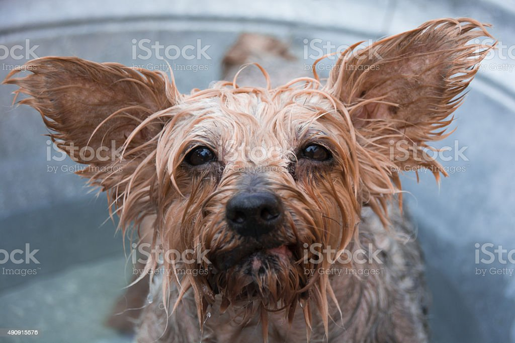 Yorkshire Terrier Dog getting a bath wanting to get out! stock photo