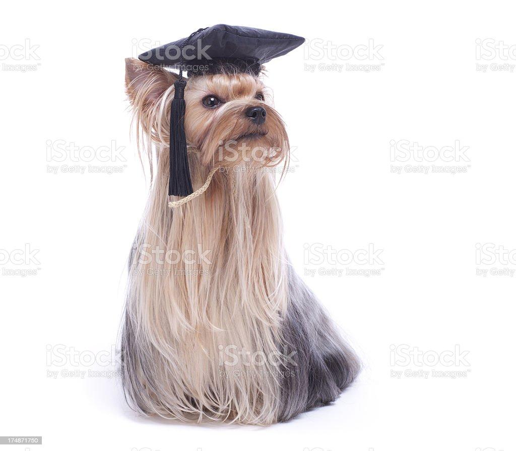 Yorkshire Terrier dog graduation royalty-free stock photo
