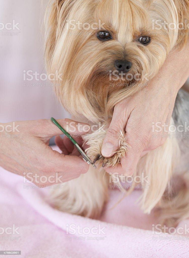 Yorkshire Terrier dog having toenails trimmed stock photo