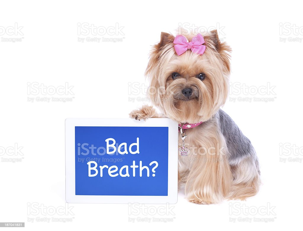 Yorkshire Terrier Dog holding a Digital Tablet Computer stock photo