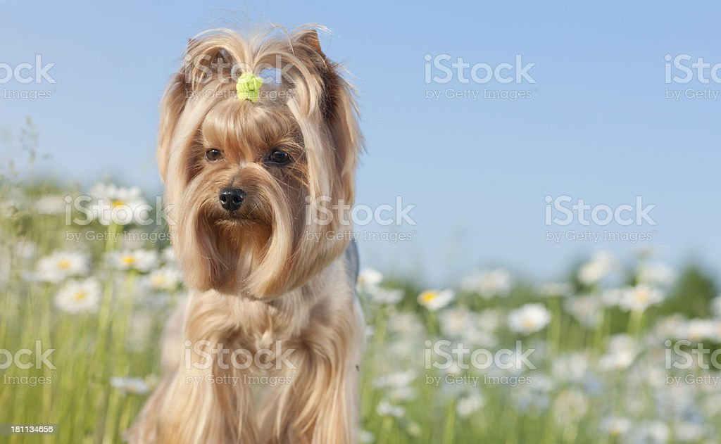 Yorkshire Terrier Dog in a Field of Daisies royalty-free stock photo