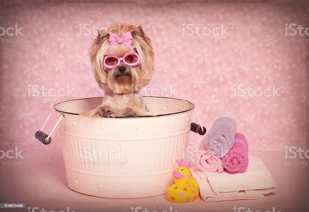 Yorkshire Terrier dog in a washtub with goggles stock photo