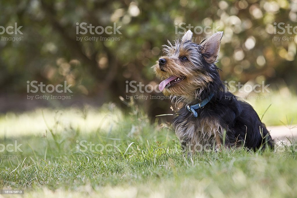 Yorkshire Terrier Dog in the grass, Spain stock photo