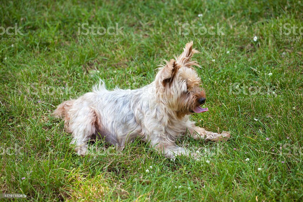 Yorkshire terrier dog on the grass stock photo