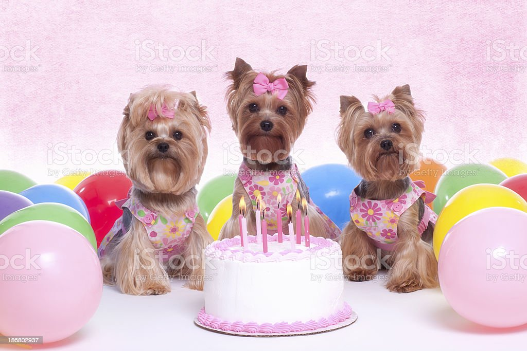 Yorkshire Terrier Dog Party royalty-free stock photo