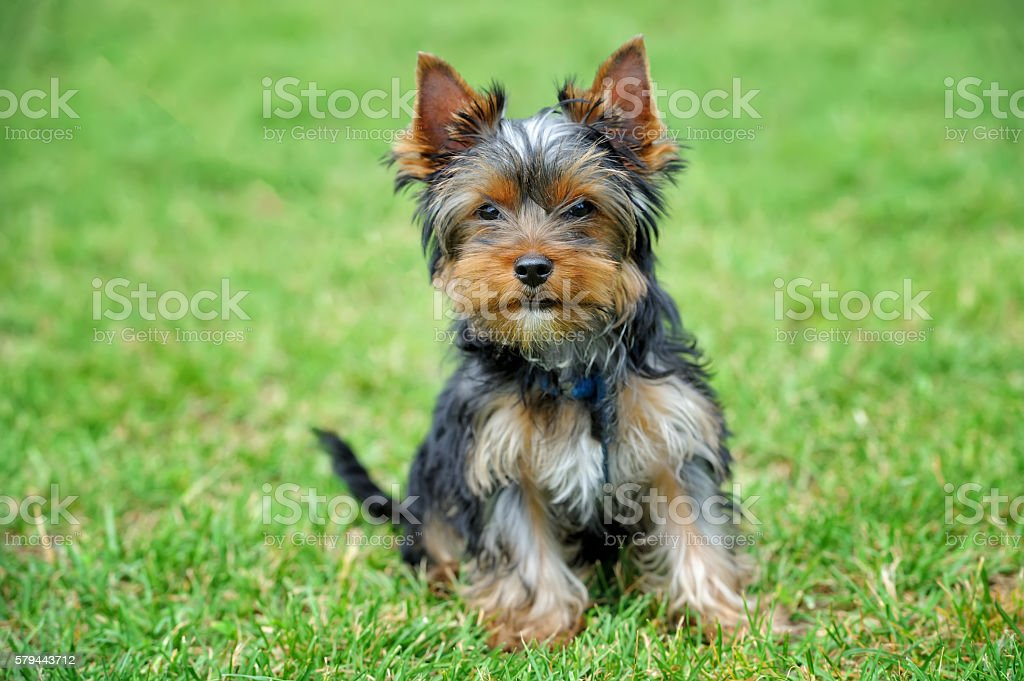 Yorkshire Terrier dog stock photo
