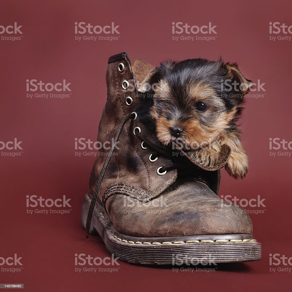 Yorkshire terrier Dog puppy portrait royalty-free stock photo