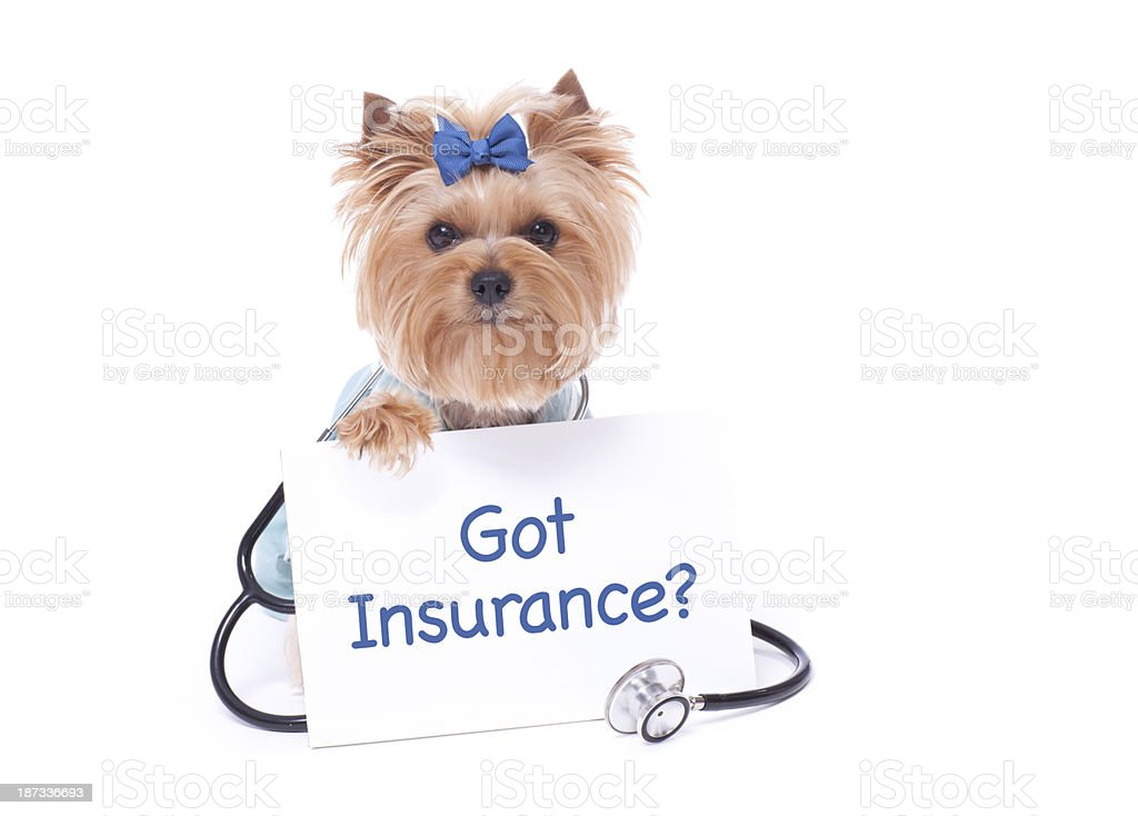 Yorkshire Terrier Dog Selling Pet Insurance royalty-free stock photo