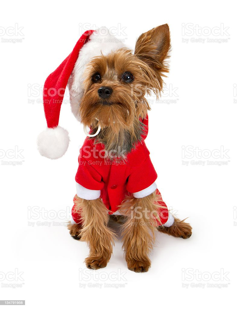Yorkshire Terrier dog wearing a santa suit stock photo