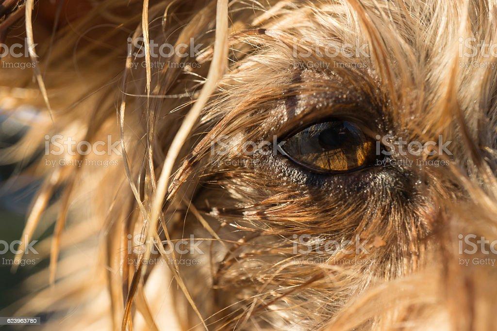 Yorkshire Terrier dog's eye macro detail stock photo