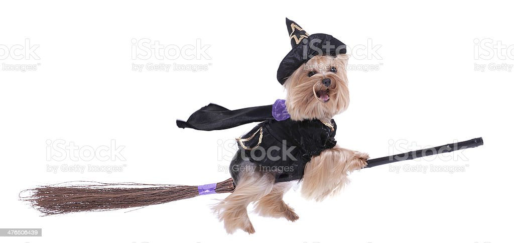 Yorkshire Terrier dressed up as a witch riding her broomstick royalty-free stock photo