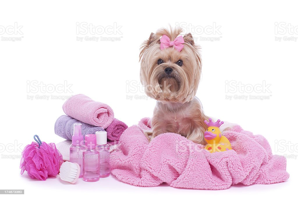 Yorkshire Terrier Grooming royalty-free stock photo