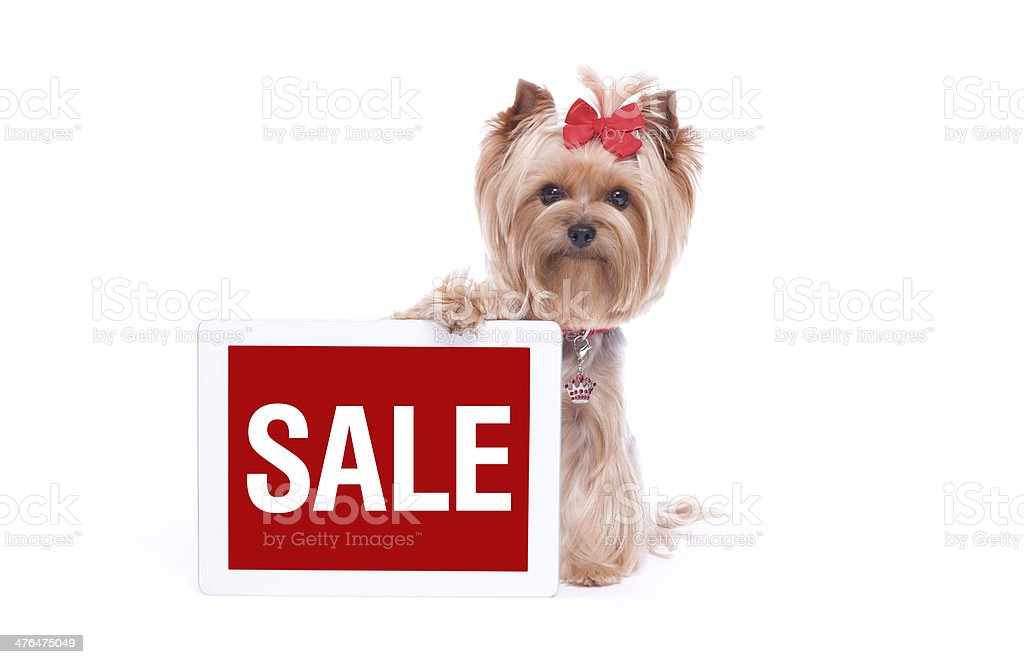 Yorkshire Terrier Holding a Digital Tablet Computer royalty-free stock photo