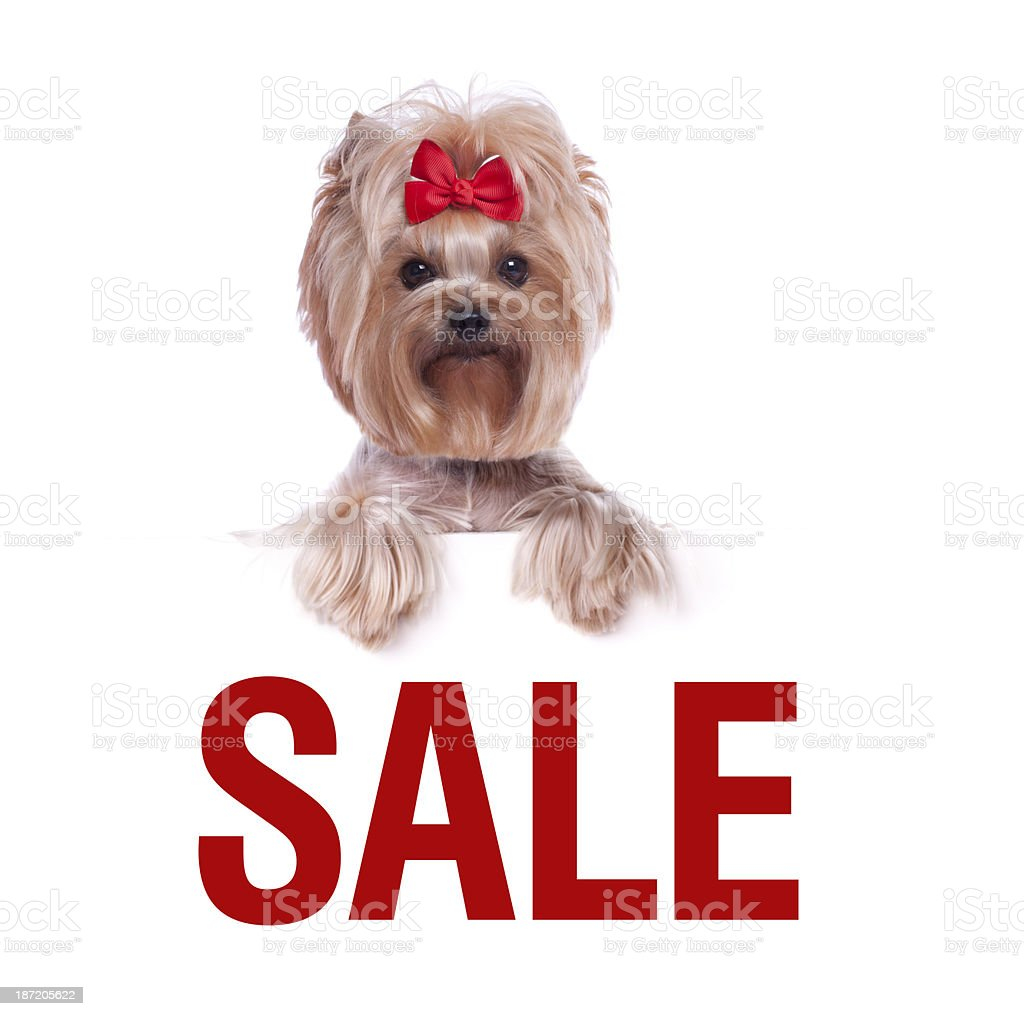 Yorkshire Terrier holding a sale sign royalty-free stock photo