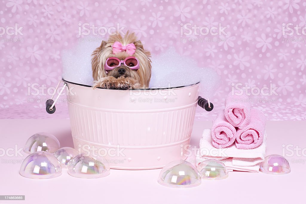 Yorkshire Terrier in a bathtub with goggles royalty-free stock photo