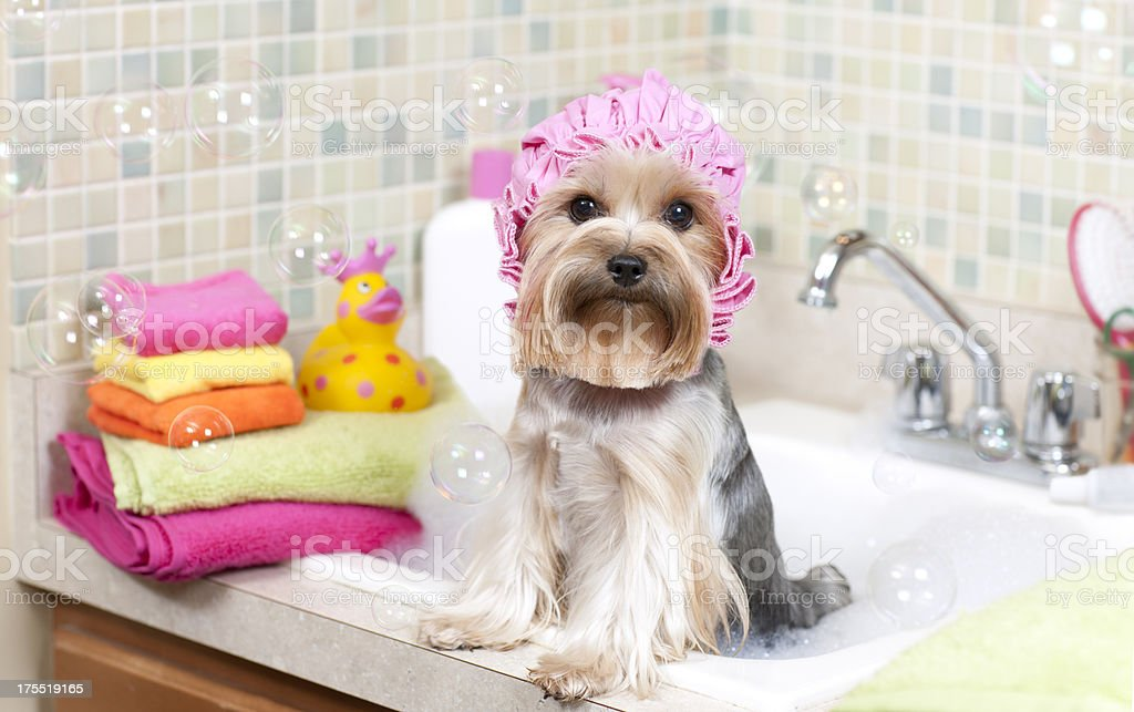 Yorkshire Terrier in a Bubble Bath royalty-free stock photo