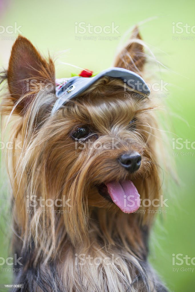 Yorkshire terrier in a cap royalty-free stock photo