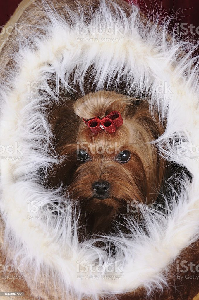 Yorkshire terrier in a fur house stock photo