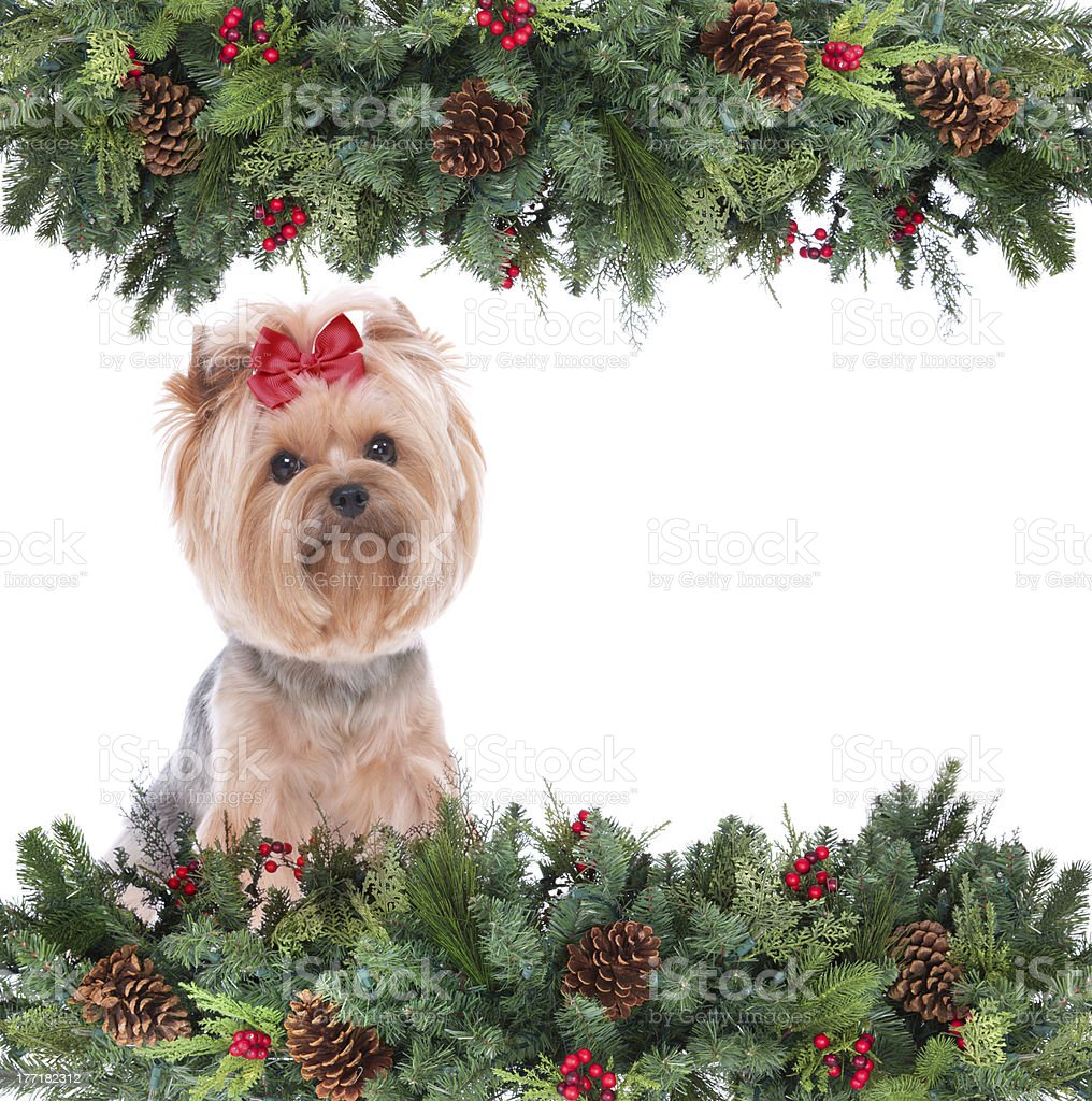 Yorkshire Terrier in a garland frame royalty-free stock photo